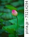 蓮の花 75214294