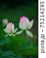蓮の花 75214295