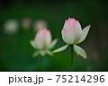 蓮の花 75214296