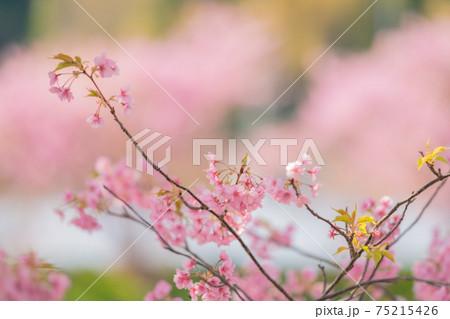 伊豆河津桜まつり 75215426