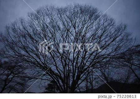 月夜の公園の大きな広葉樹のシルエットが幻想的な雰囲気を演出する光景 75220613