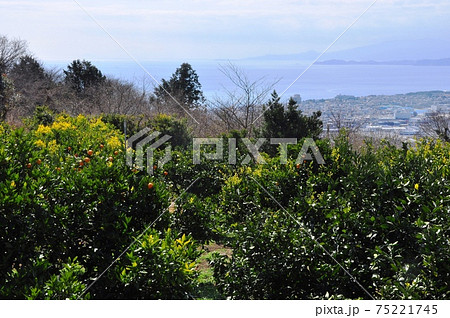 小田原市曽我丘陵ウォーキングコースからのミカン畑と相模湾眺望 75221745