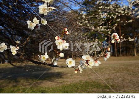 美しく咲いている白梅をクローズアップした風景 75223245