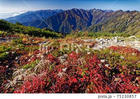 爺ヶ岳稜線のチングルマの紅葉と針ノ木岳・蓮華岳 75230857