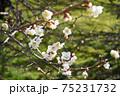 白梅の花 75231732