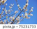 白梅の花 75231733