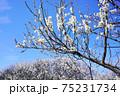 白梅の花 75231734