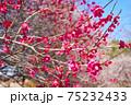 紅梅の花 75232433