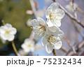 白梅の花 75232434