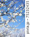白梅の花 75232435
