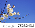 白梅の花 75232438