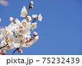 白梅の花のアップ 75232439