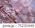 桃色の梅の花のアップ 75232440