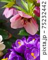 ピンクのクリスマスローズと紫のクロッカス 75232442