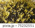 キンシバイの花 75232551