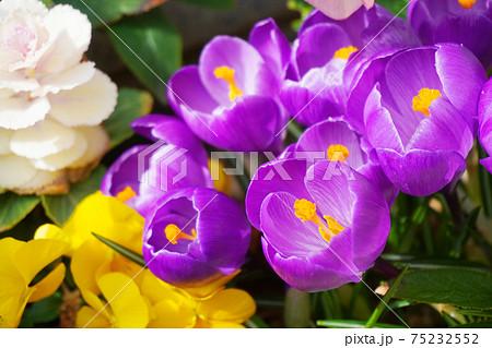 紫のクロッカスとパンジーと葉牡丹 75232552