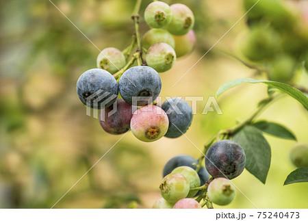 ブルーベリー フルーツ 果樹園 ブルーベリー狩り イメージ素材 75240473