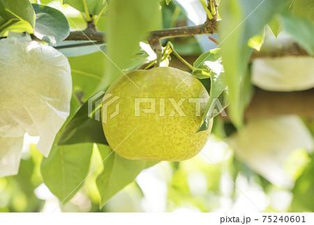 梨 フルーツ 果物 幸水梨 イメージ素材 75240601