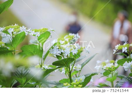雨上がりの紫陽花園に咲く紫陽花と観光客 75241544