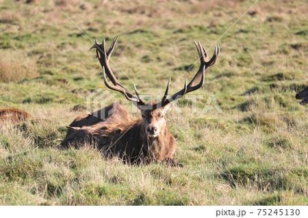 英国リッチモンドパークで立派な枝角を持つ雄鹿の休憩中の一コマ 75245130