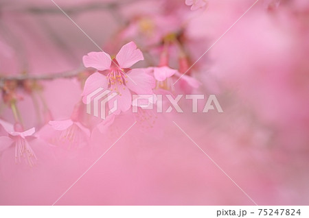 桜の前ボケでふんわり撮影した、一輪の桜の花 75247824