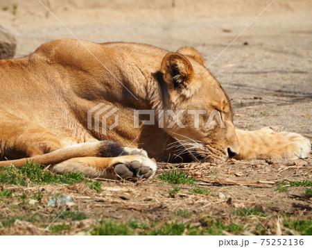 【ライオン】うたた寝するメスライオン 75252136