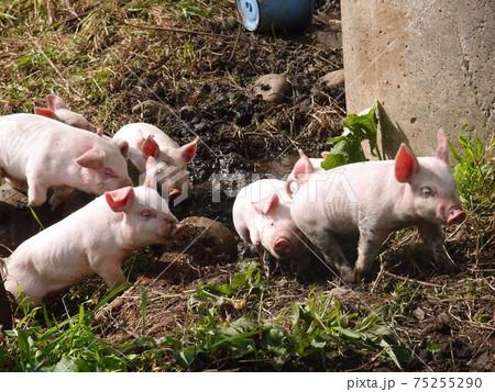 子豚たち 75255290