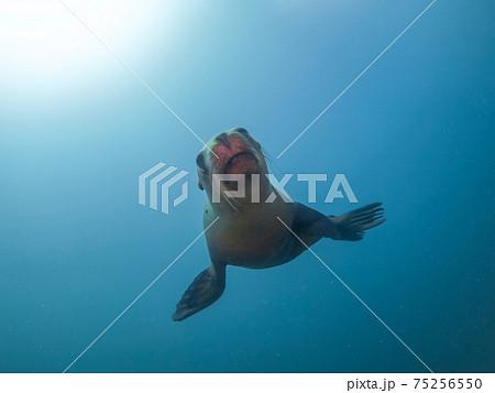 濁った海を泳ぐカリフォルニアアシカ (ラパス、メキシコ) 75256550