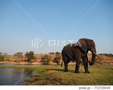 ボツワナの野生動物たち 75256609