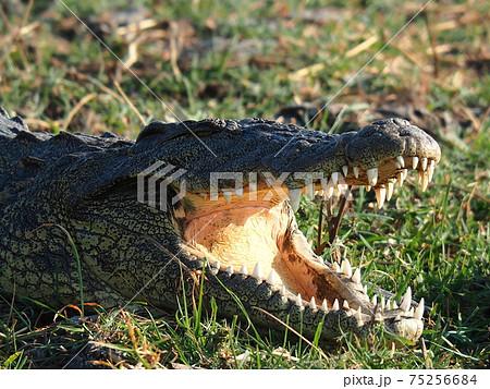 ボツワナの野生動物たち 75256684