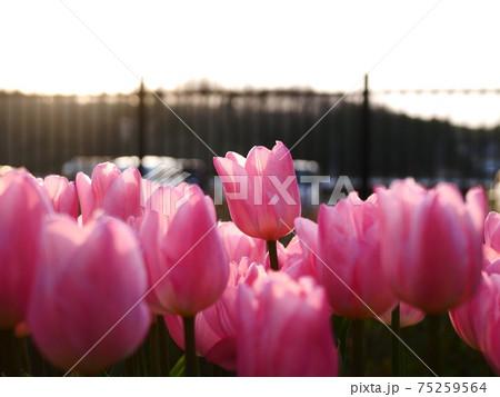 夕焼けに映えるピンク色のチューリップ 75259564