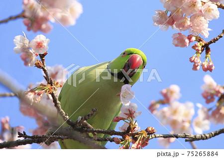 桜の花を食べる野生のワカケホンセイインコのオス    75265884