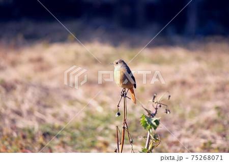 枯れたノゲシに留まるジョウビタキの雌 75268071
