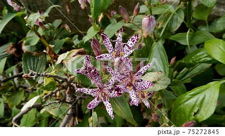 ホトトギスの花 75272845