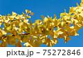 イチョウと青空 75272846