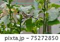 アゲハ蝶 75272850