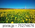 菜の花畑 75274676