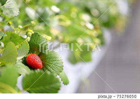 過保護に育てれた大事に葉の上にあるいちご園の苺 75276050