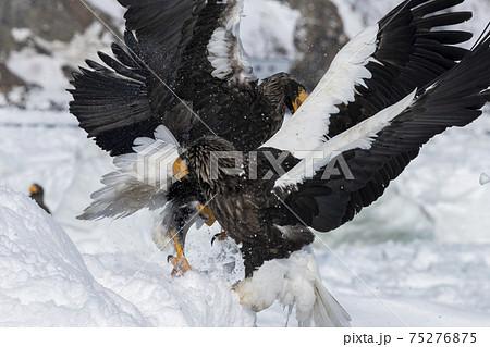 争う2羽のオオワシ(北海道) 75276875
