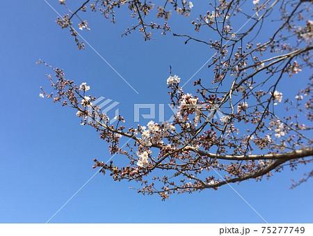 桜 開花したばかりのソメイヨシノ 75277749