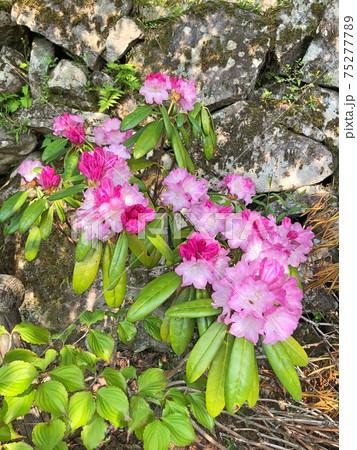 石楠花(シャクナゲ) 濃いピンク 75277789