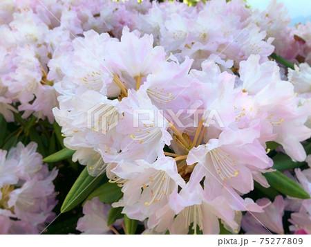 石楠花(シャクナゲ)ふんわり淡いピンク 75277809