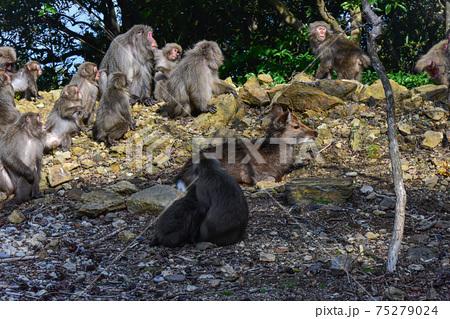 警戒するヤクザルとくつろぐヤクシカ。世界自然遺産屋久島 75279024