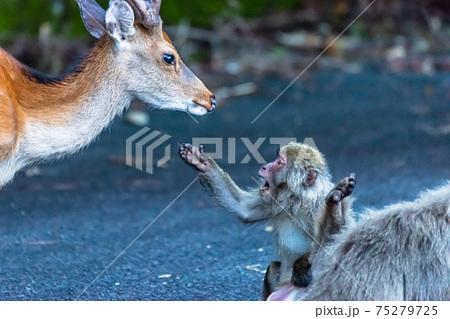 ヤクザルがヤクシカを威嚇してます。世界自然遺産屋久島 75279725