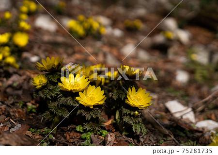 早春の山で咲き始めたばかりのフクジュソウ 75281735
