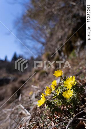 石灰岩地形の山肌で咲き始めたばかりのフクジュソウ 75282291