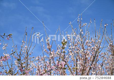 桜の風景)埼玉県久喜市青毛堀川の河津桜(中景) 75284688
