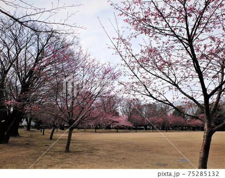練馬大泉さくら運動公園 河津桜の開花 75285132