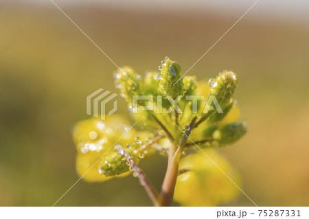 朝露に輝く菜の花のクローズアップ 75287331