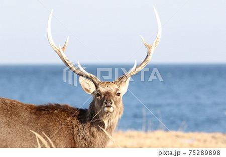 海辺の原野で枯草を食むエゾシカ(オス成獣/冬毛/顔が正面向き) 75289898